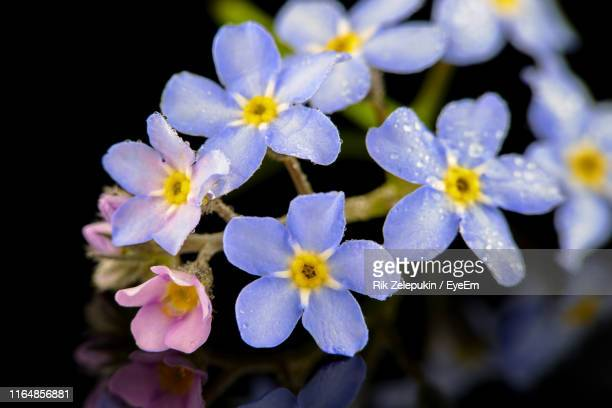 close-up of purple flowers - forget me not stock pictures, royalty-free photos & images