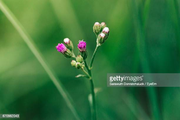 close-up of purple flowers - mae sot stock photos and pictures