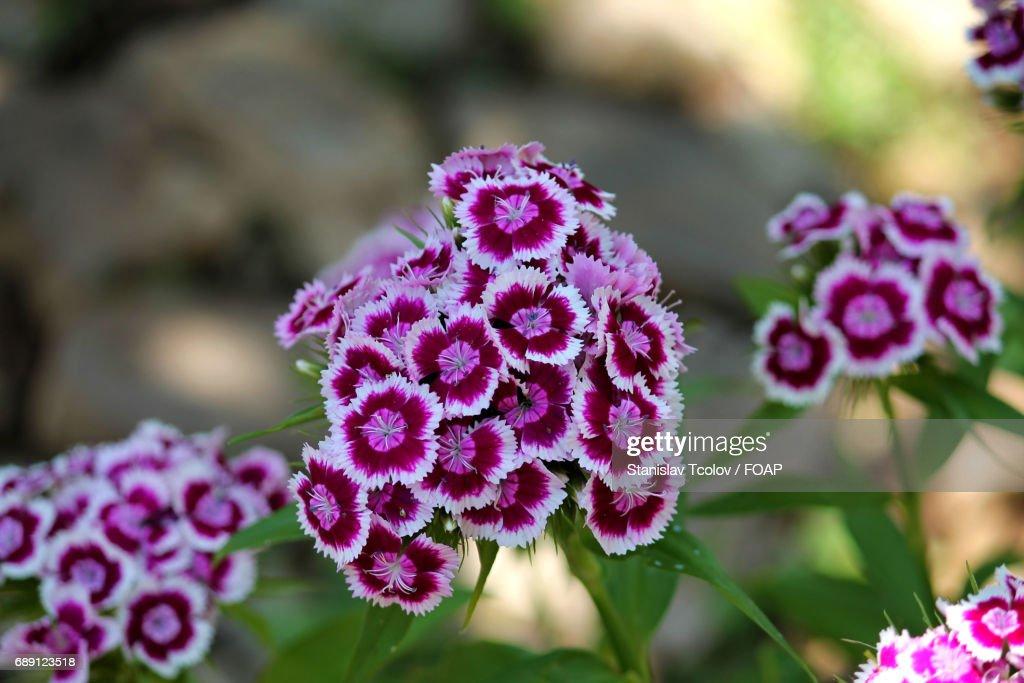 Close-up of purple flowers : Stock Photo