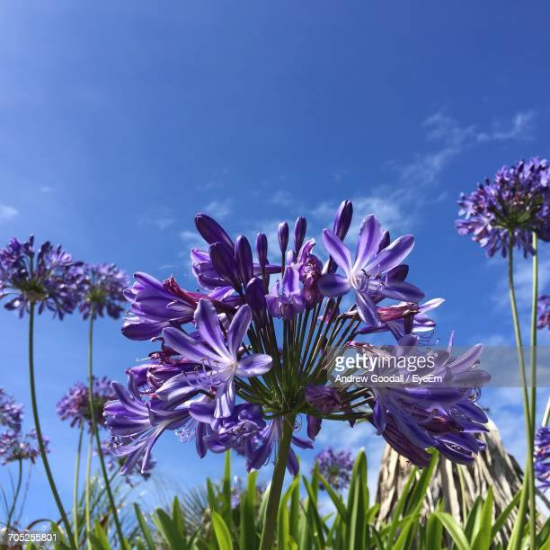 close-up of purple flowers - isles of scilly stock pictures, royalty-free photos & images