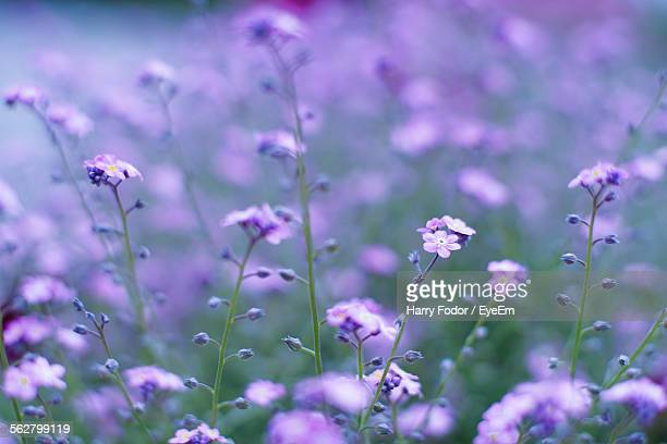 close-up of purple forget-me-not blooming outdoors - forget me not stock pictures, royalty-free photos & images