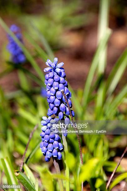 close-up of purple grape hyacinth growing in park - muscari armeniacum stock pictures, royalty-free photos & images