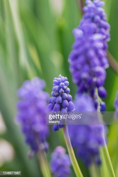 close-up of purple grape hyacinths. - hyacinth stock pictures, royalty-free photos & images