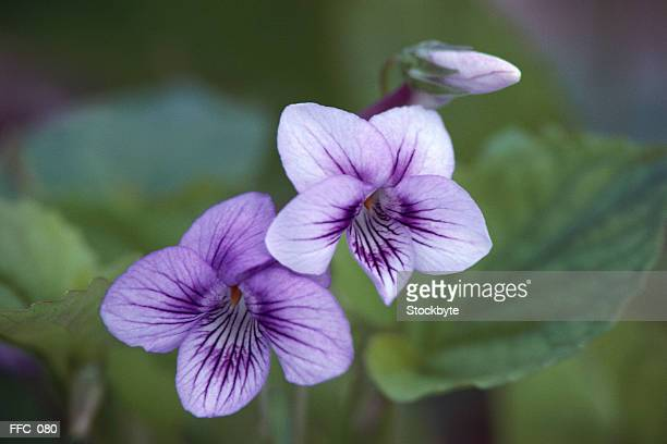 Close-up of purple hawthorn flowers