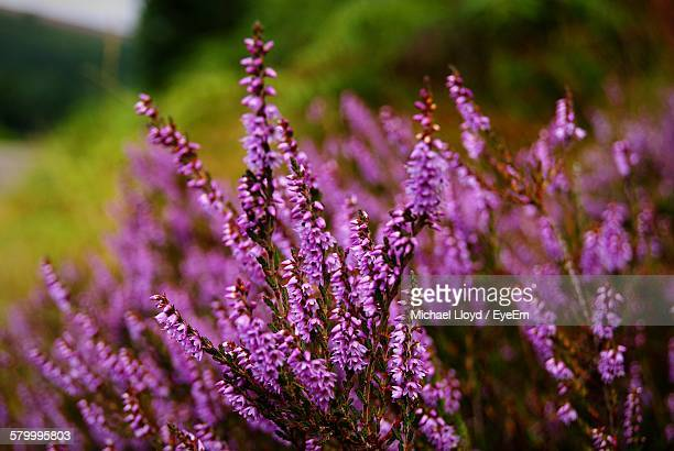 close-up of purple heather blooming on field - heather stock photos and pictures