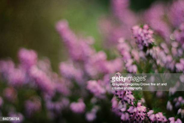 close-up of purple heather - gregoria gregoriou crowe fine art and creative photography stock photos and pictures