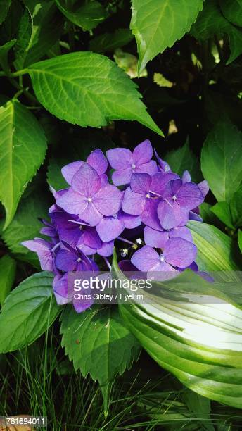 close-up of purple hydrangea blooming outdoors - sibley stock photos and pictures