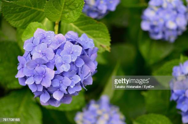 close-up of purple hydrangea blooming outdoors - あじさい ストックフォトと画像