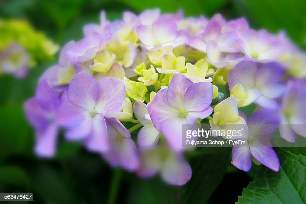 Close-Up Of Purple Hydrangea Flowers Blooming At Park