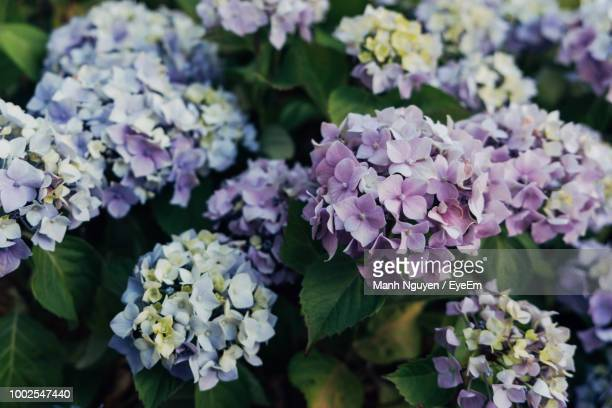 close-up of purple hydrangea flowers - hydrangea stock pictures, royalty-free photos & images