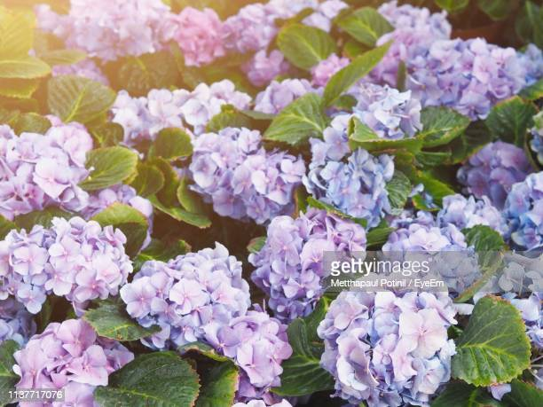 close-up of purple hydrangea flowers - metthapaul stock photos and pictures