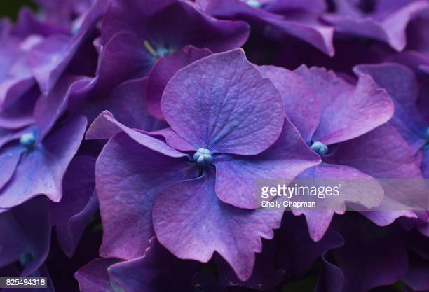 Close-up of purple Hydrangea
