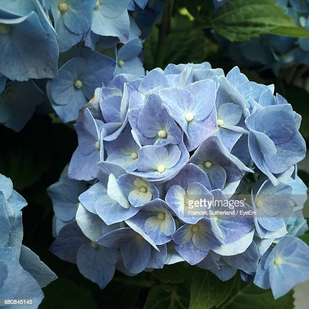Close-Up Of Purple Hydrangeas Blooming Outdoors