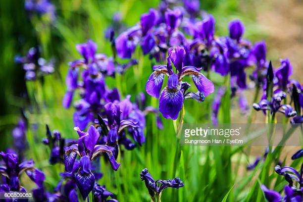 Close-Up Of Purple Irises Blooming Outdoors