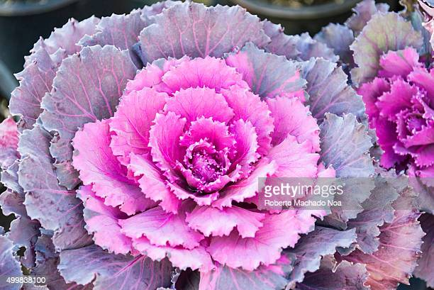 Closeup of purple Kale flower or Cabbage rose at a garden in Toronto Canada