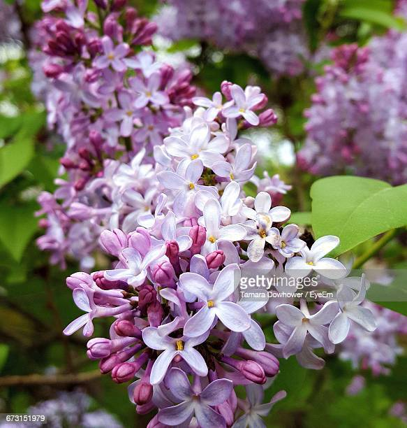 close-up of purple lilac blooming outdoors - purple lilac stock pictures, royalty-free photos & images