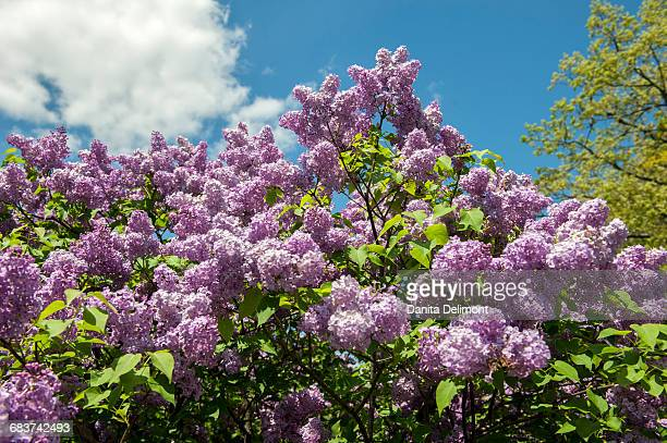 Close-up of purple lilac tree (Syringa vulgaris), Arnold Arboretum, Boston, Massachusetts, New England, USA