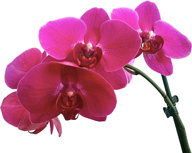 Close-Up Of Purple Orchid Against White Background Wall Art