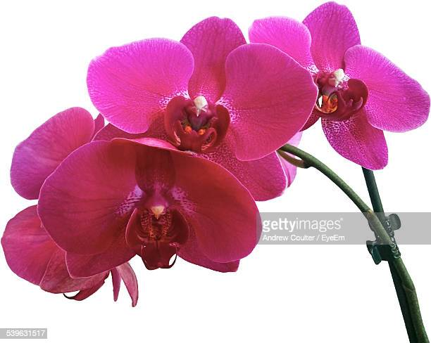 Close-Up Of Purple Orchid Against White Background
