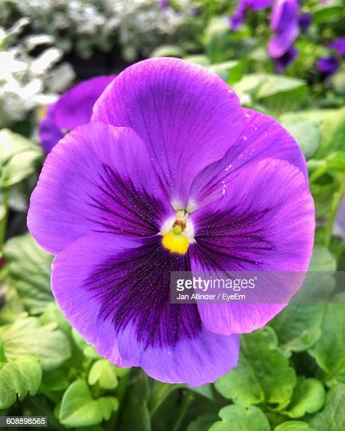Close-Up Of Purple Pansy Blooming Outdoors