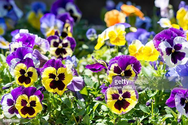 Close-Up Of Purple Pansy Flowers In Garden