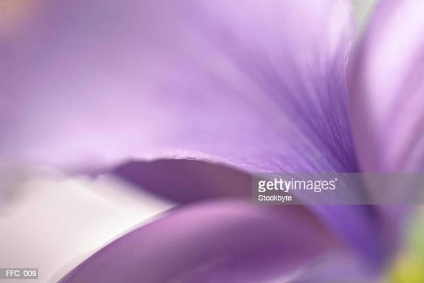 Close-up of purple petals