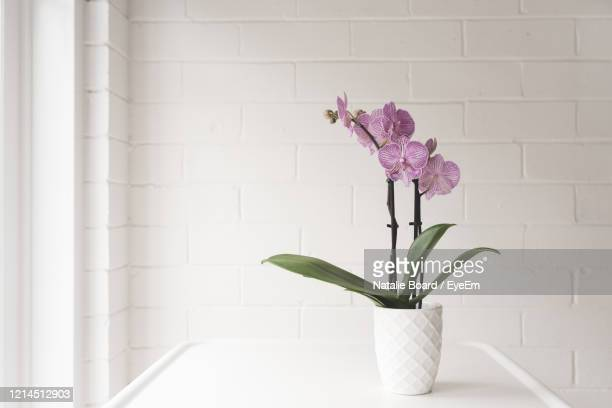 closeup of purple phalaenopsis orchid in on white table against painted brick wall background - ラン ストックフォトと画像