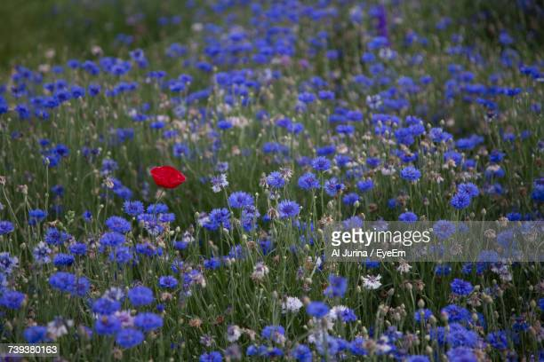 Close-Up Of Purple Poppy Flowers Blooming On Field