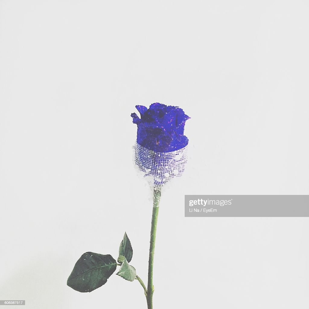 Close Up Of Purple Rose Against White Background Stock Photo