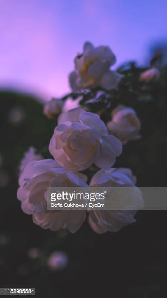 close-up of purple rose flower - sofia rose stock photos and pictures