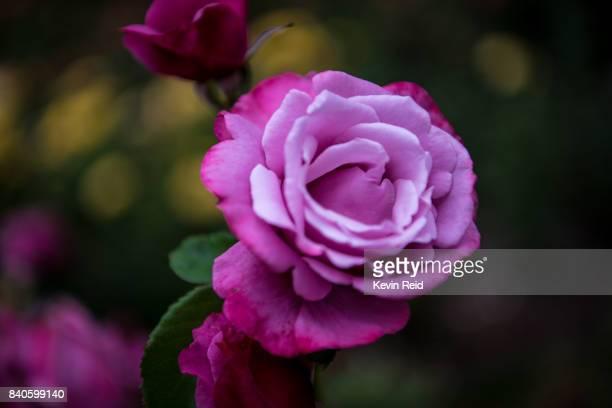 Close-up of purple rose