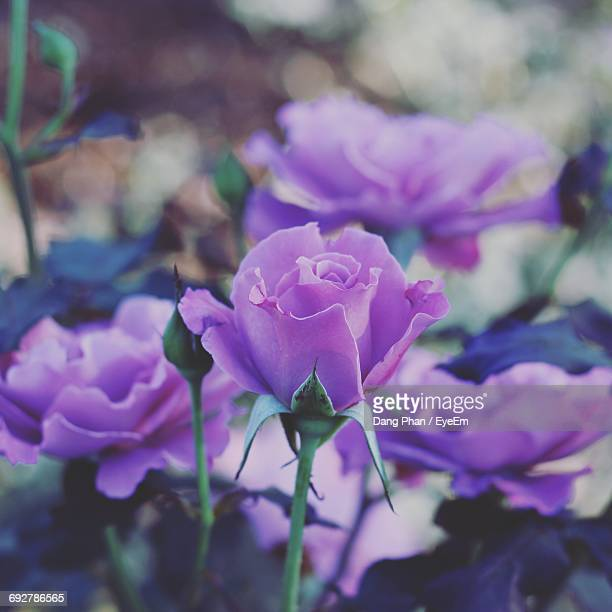 Close-Up Of Purple Roses Blooming In Garden