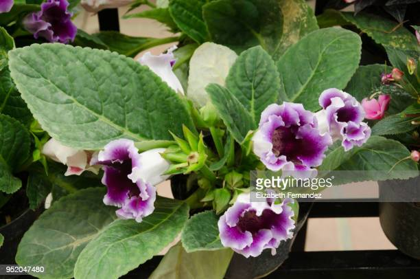 close-up of purple spotted gloxinia blooming - african violet stock photos and pictures