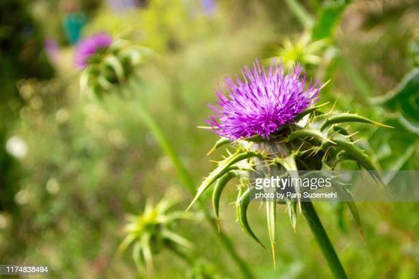 close-up of purple thistle bloom - the slants stock pictures, royalty-free photos & images