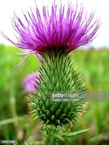 Close-Up Of Purple Thistle Flower
