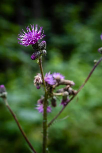 Close-up of purple thistle flower,Wilder Kaiser,Austria