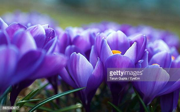 Close-Up Of Purple Tulips Blooming Outdoors