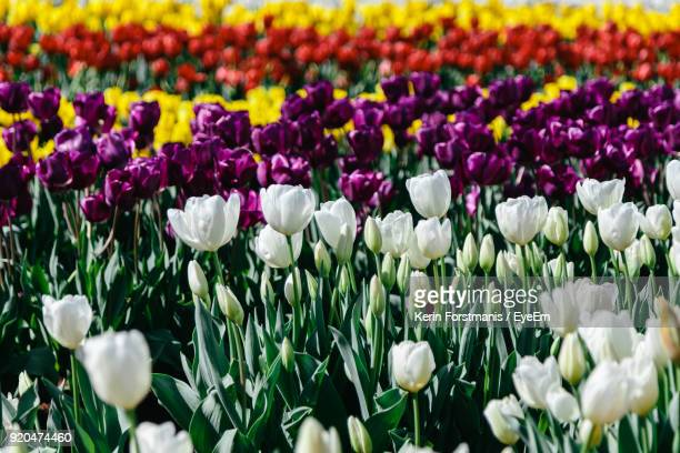 Close-Up Of Purple Tulips Growing In Field