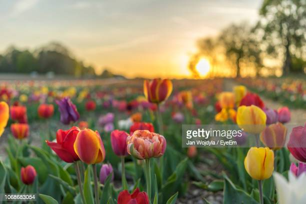 close-up of purple tulips on field against sky during sunset - tulip stock pictures, royalty-free photos & images