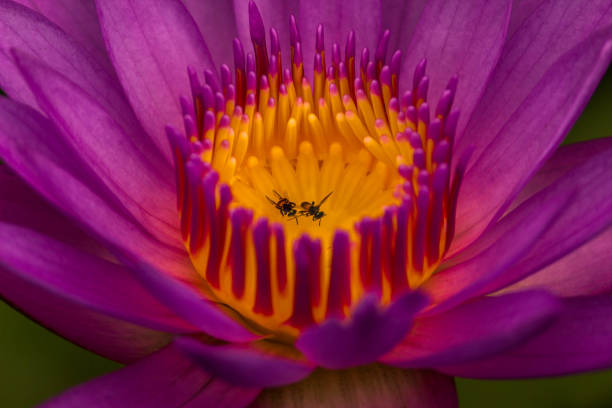 Close-Up Of Purple Water Lily, Bhubaneshwar, India