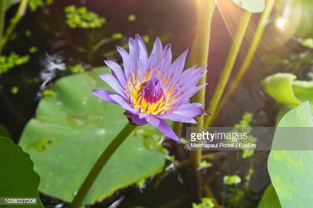 close-up of purple water lily - metthapaul stock photos and pictures
