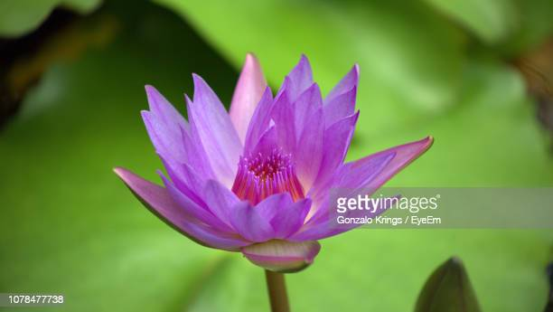 close-up of purple water lily - krings stock pictures, royalty-free photos & images