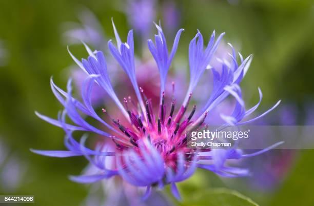 Close-up of Purple Wild Flower