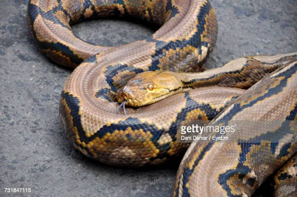 close-up of python on field - python snake stock pictures, royalty-free photos & images