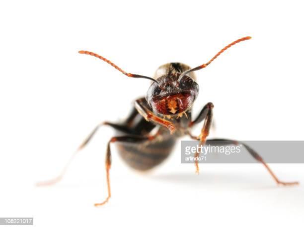 Nahaufnahme von Königin Ameise auf weißem Hintergrund