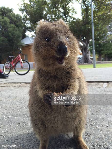 Close-Up Of Quokka Eating Food On Street