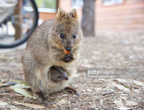 close-up of quokka with young animal - marsupial imagens e fotografias de stock