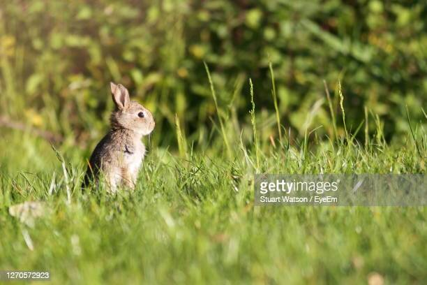close-up of  rabbit on field - taunton somerset stock pictures, royalty-free photos & images
