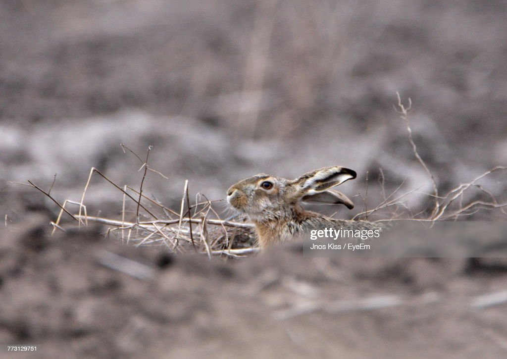 Close-Up Of Rabbit On Field : Stock Photo