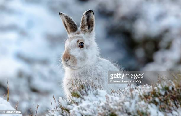 close-up of rabbit on field,scotland,united kingdom,uk - nature stock pictures, royalty-free photos & images